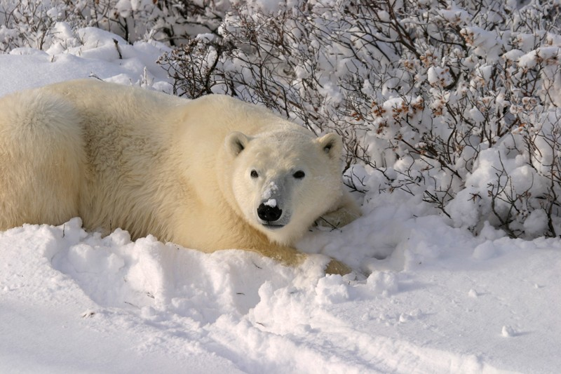 Polar Bear lying close to bush