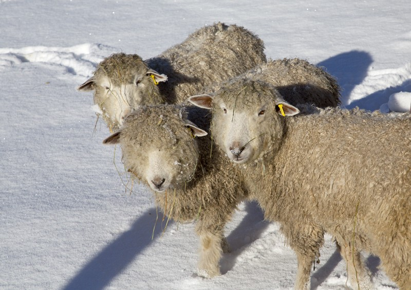 3 cotswold sheep