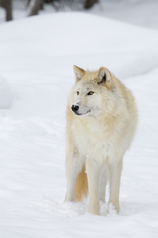 Wolf in snow frontal view